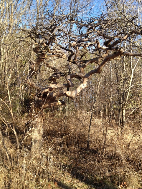 Gnarled Tree in Autumn, Copyright Silverleaf 2013
