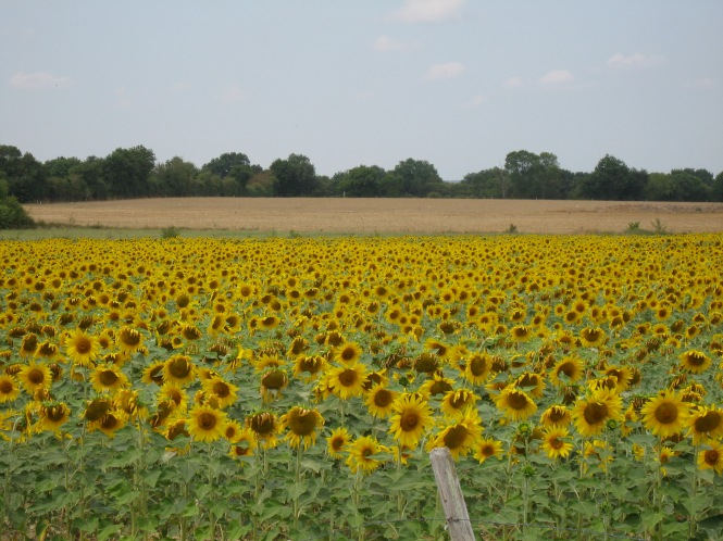 Sunflower field, France, Copyright Silverleaf 2015