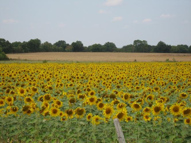 Sunflower field, France, Copyright Silverleaf 2015